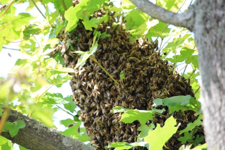 (c) Grashüpfer, Wilder Bienenschwarm2