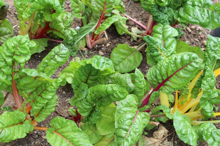 (c) Grashüpfer, Gemüsebeet, Mangold ernten