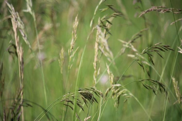 (c) Grashüpfer, Gräserpollen