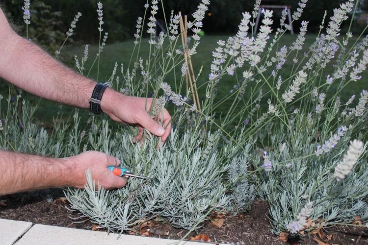 (c) Grashüpfer, Lavendel zurückschneiden