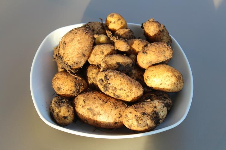 (c) Grashüpfer, Kartoffeln im Kübel, Ertrag 1