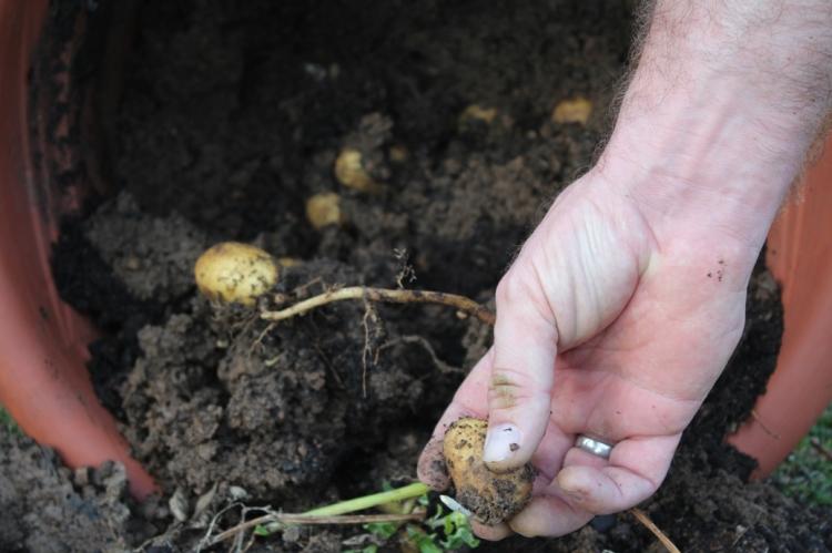 (c) Grashüpfer, Kartoffeln im Kübel, Ertrag
