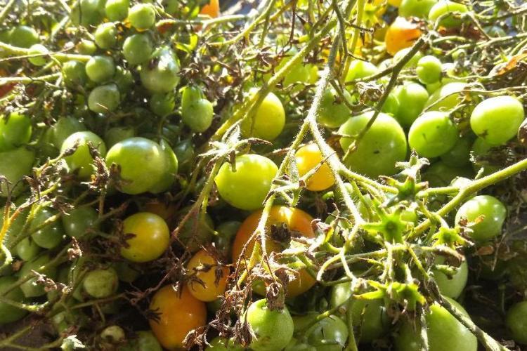 (c) Grashüpfer_ Gemüsebeet-die letzte Ernte-Tomaten