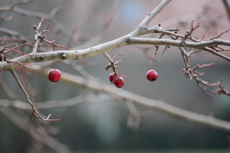 (c) grashüpfer, früchte des weißdorns