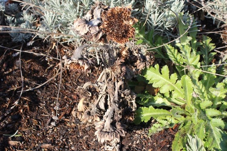 (c) grashüpfer, samen der sonnenblume im winter